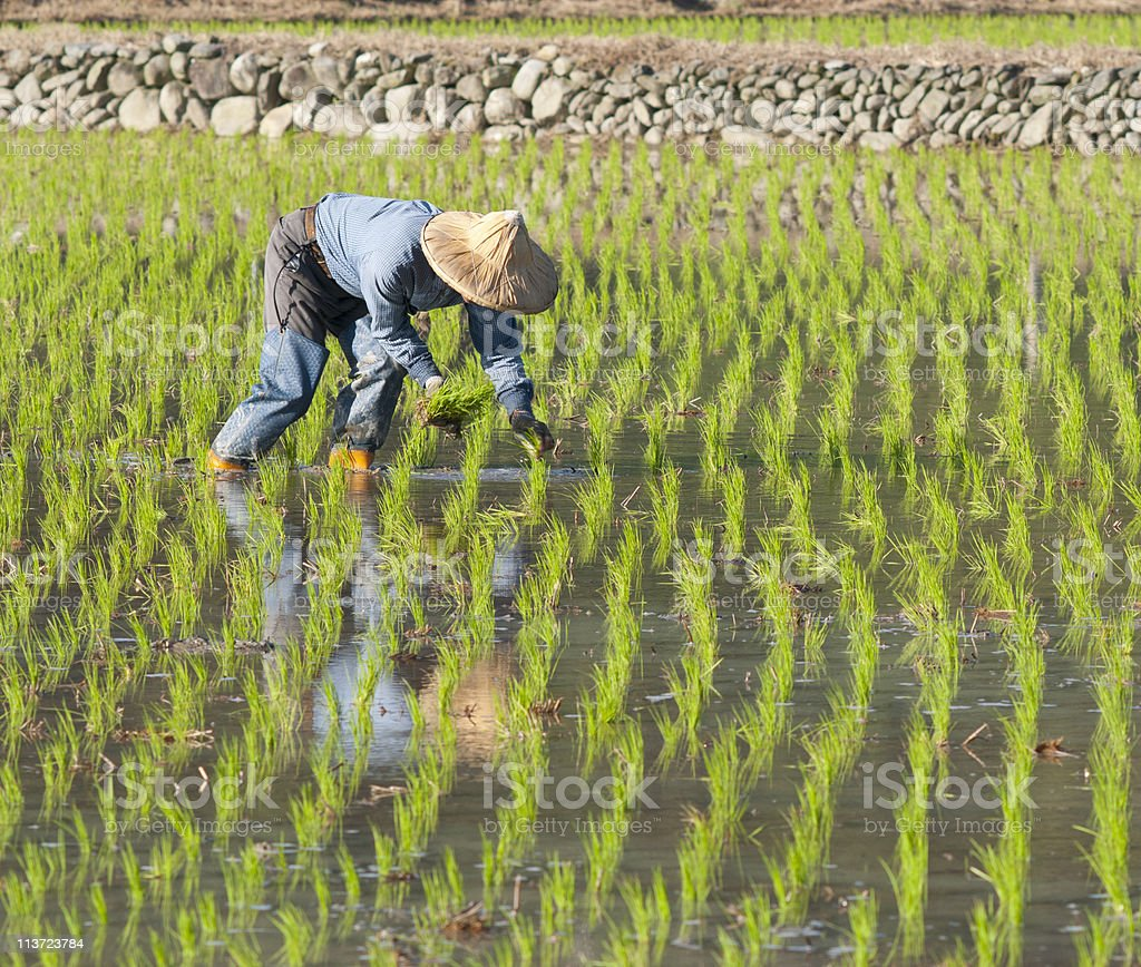 farmer working on the paddy rice farmland. stock photo