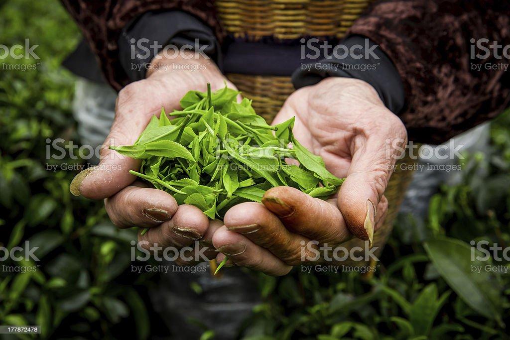 Farmer`hands are holding fresh tea leaves in plantation. stock photo