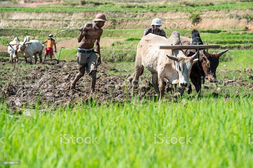 Farmers are plowing with oxes, Madagascar royalty-free stock photo