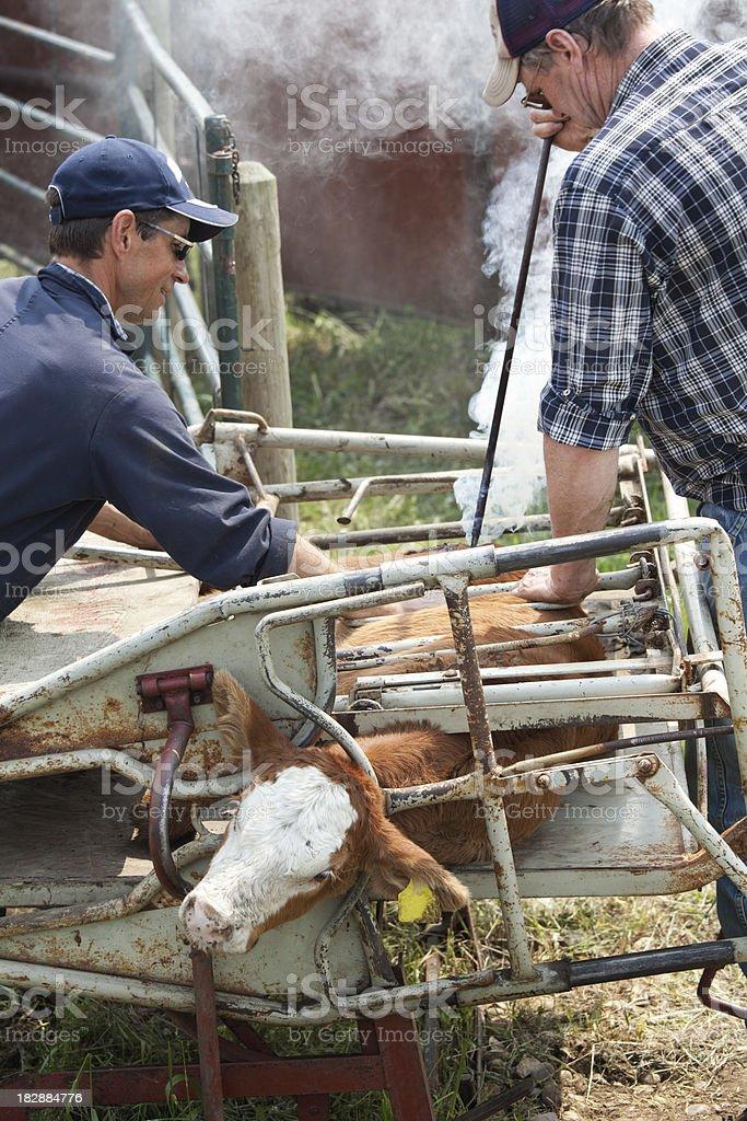 Farmers Branding Spring Calves royalty-free stock photo