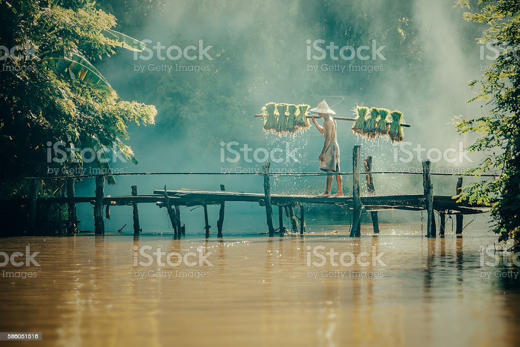 Farmers  carry rice seedlings  on a shoulder in the rainy stock photo