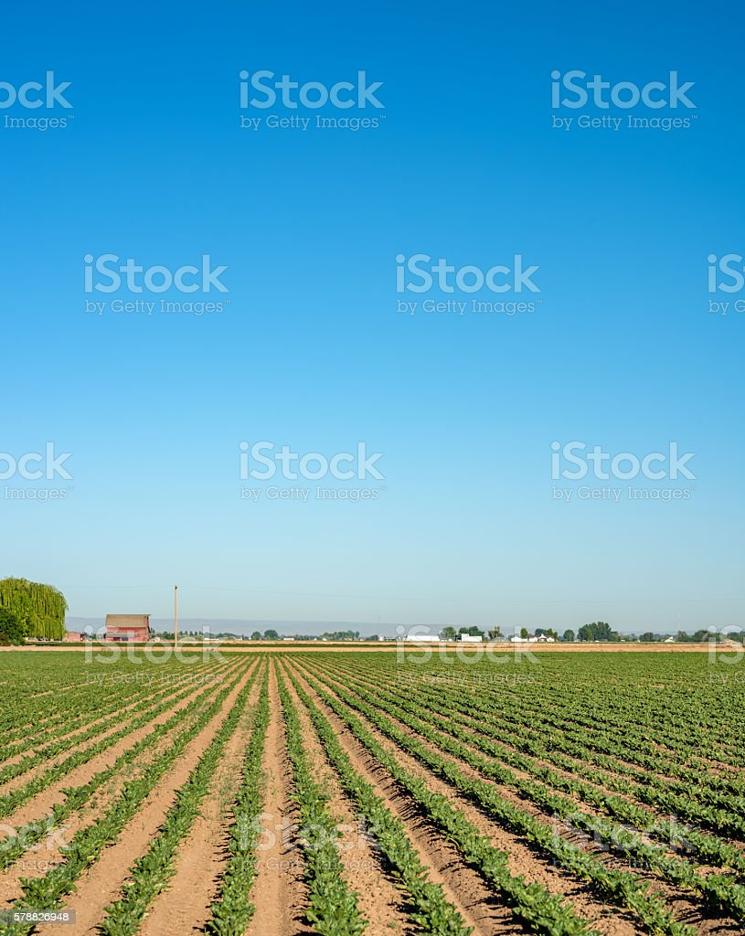 Farmers crops all in a row lead to a red barn stock photo