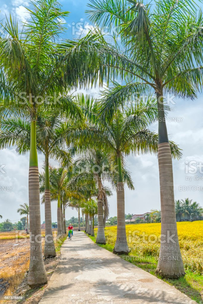 Farmers driving on roads planted trees Cuban Royal Palm stock photo