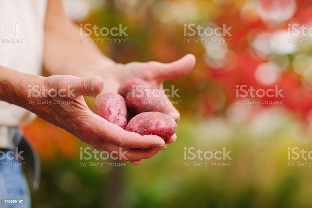 Farmer's Hands Holding Red Potatoes stock photo