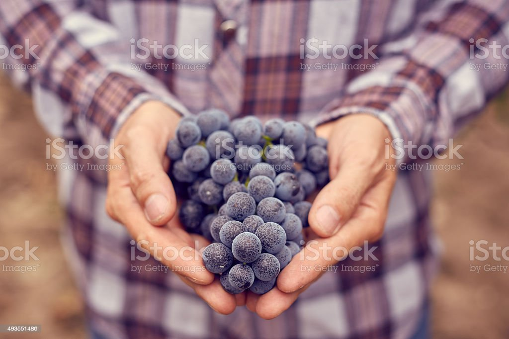 Farmers hands with blue grapes stock photo