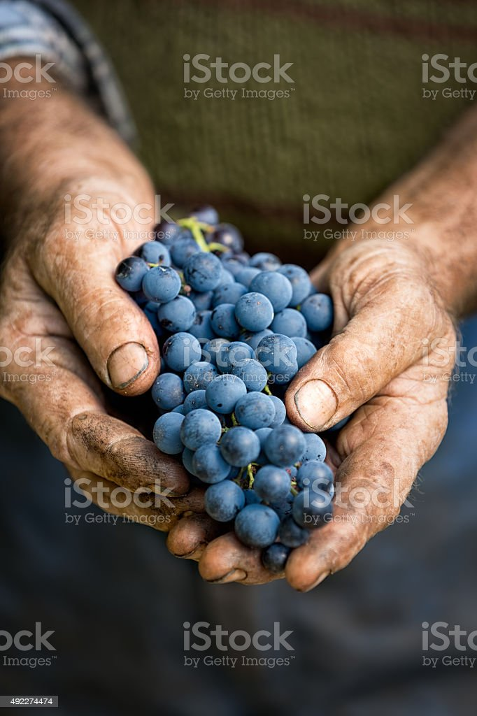 Farmers hands with cluster of grapes stock photo
