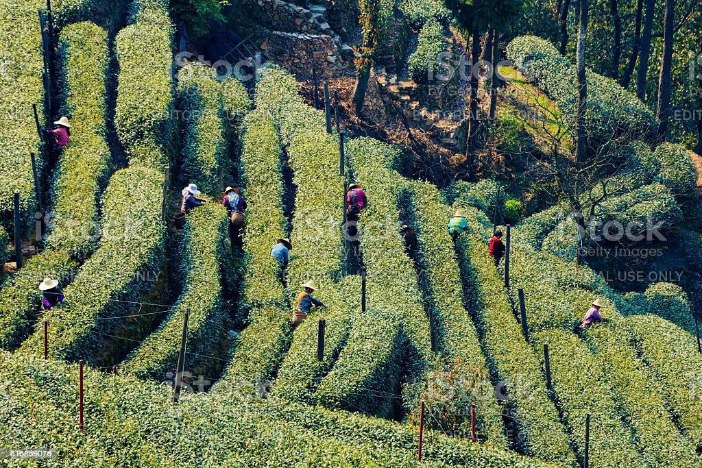 Farmers in Longjing stock photo