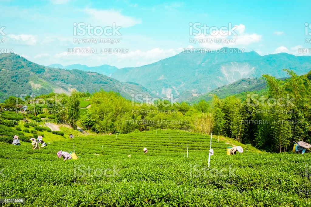 Farmers pick up fresh organic tea bud & leaves in plantation, the famous Oolong tea area in Ali mountain, Taiwan stock photo