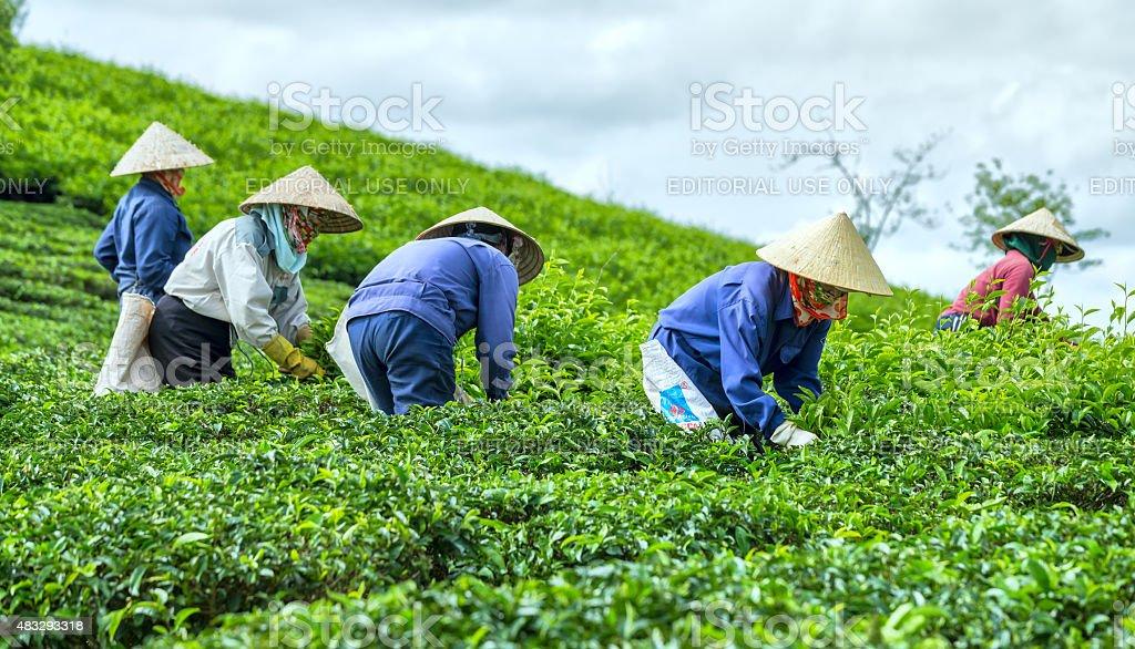 Farmers picking tea on tea plantation stock photo