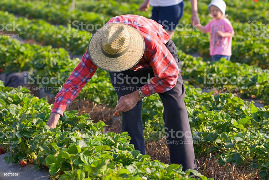 Farmers picking their own strawberries royalty-free stock photo