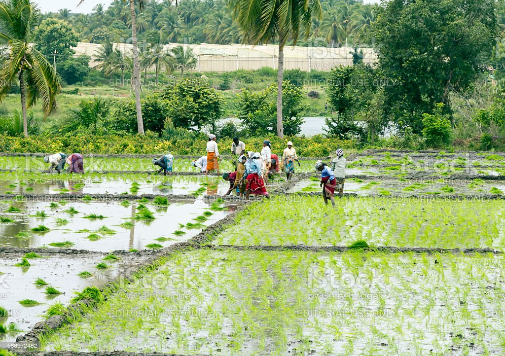 Farmers planting paddy, Karnataka, India stock photo