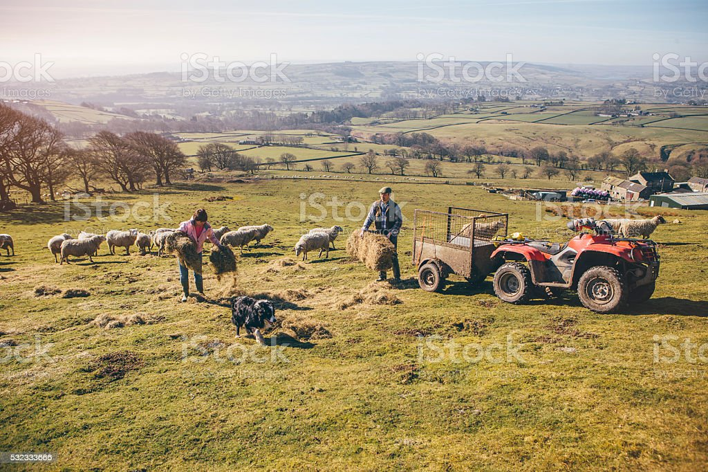 Farmers Putting Out Hay for the Sheep stock photo