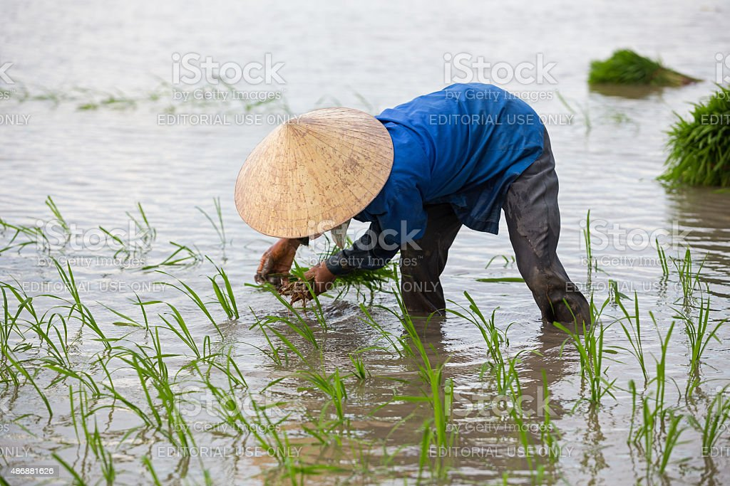 Farmers transplant rice in a field in Vietnam stock photo
