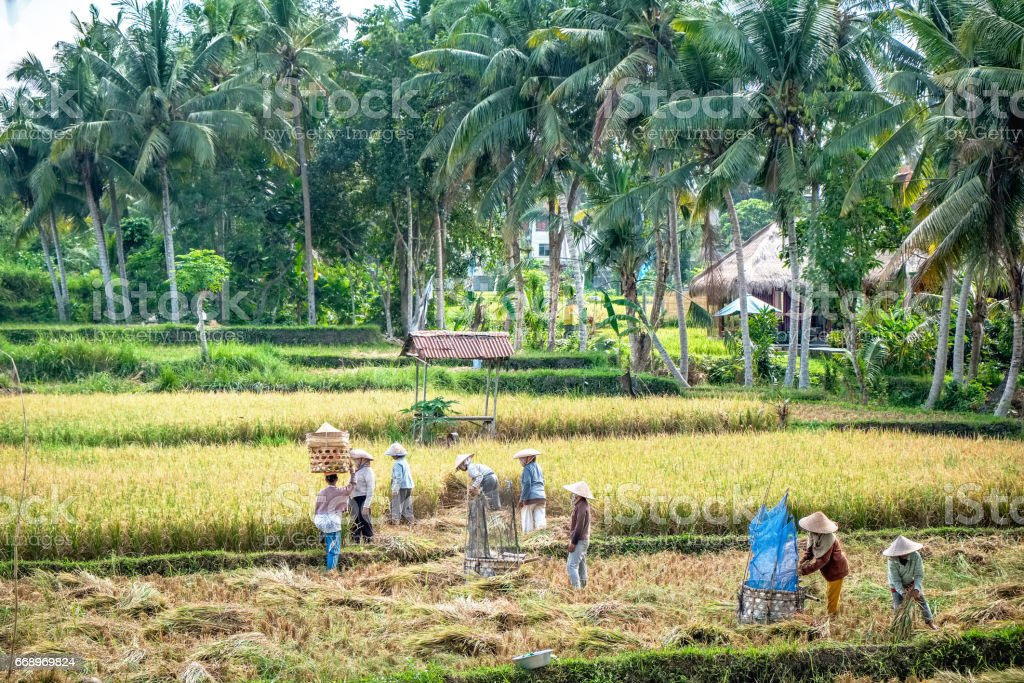 Farmers work on rice field plantation, rural landscape photography. Harvest season for agricultural products in Southeast Asia countries - Thailand, Vietnam, Indonesia stock photo