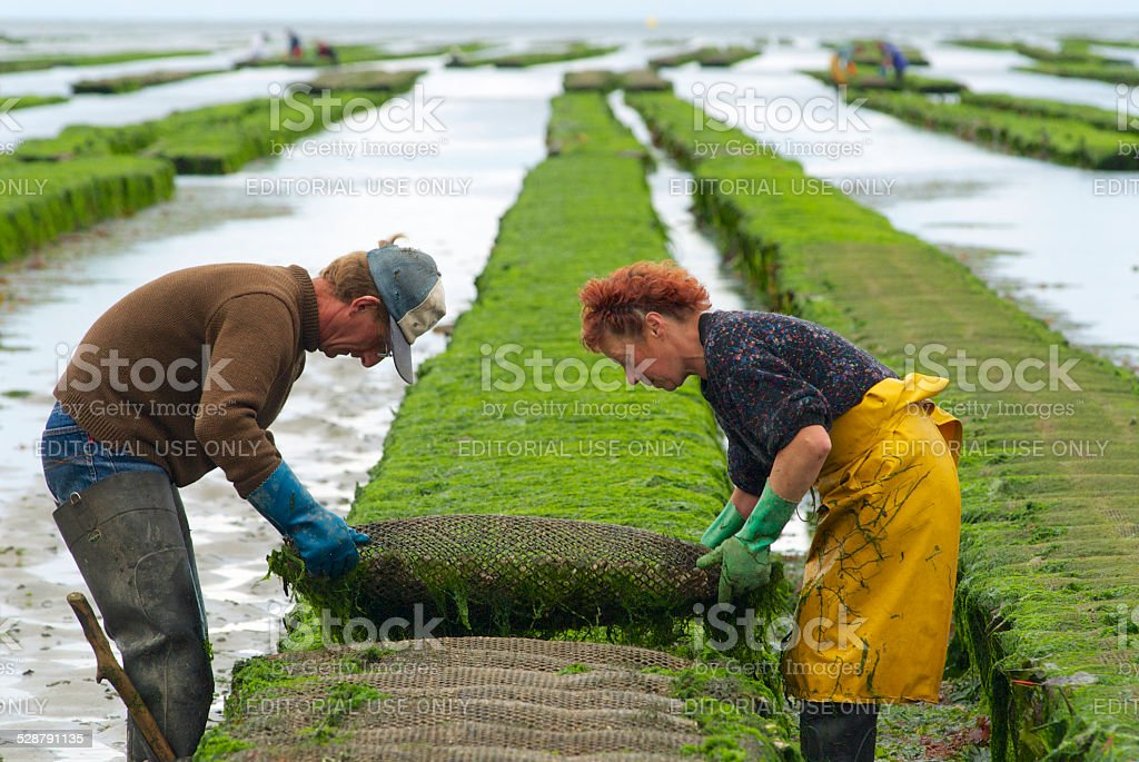 Farmers work, oyster farm at low tide, Grandcamp-Maisy, France stock photo
