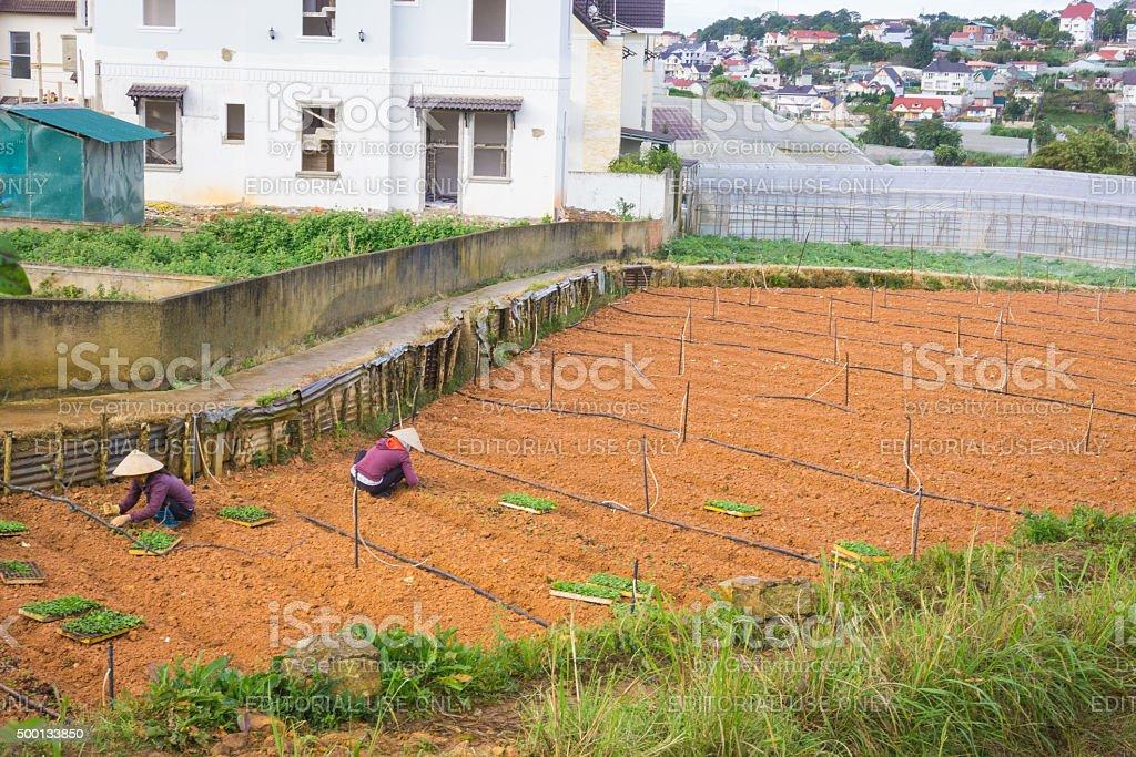 Farmers working in garden vegetable stock photo