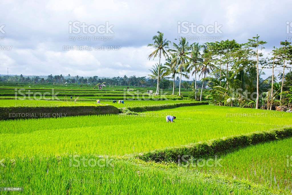 Farmers working in the rice fields stock photo