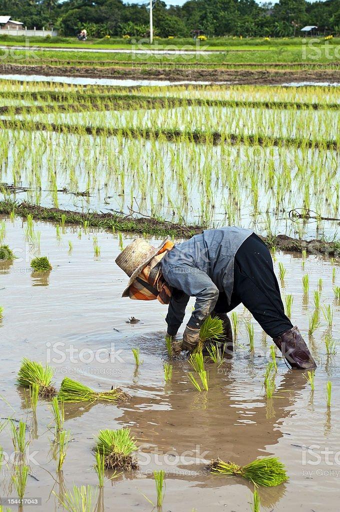 Rolnicy pracy sadzenia w polu ryż niełuskany zbiór zdjęć royalty-free