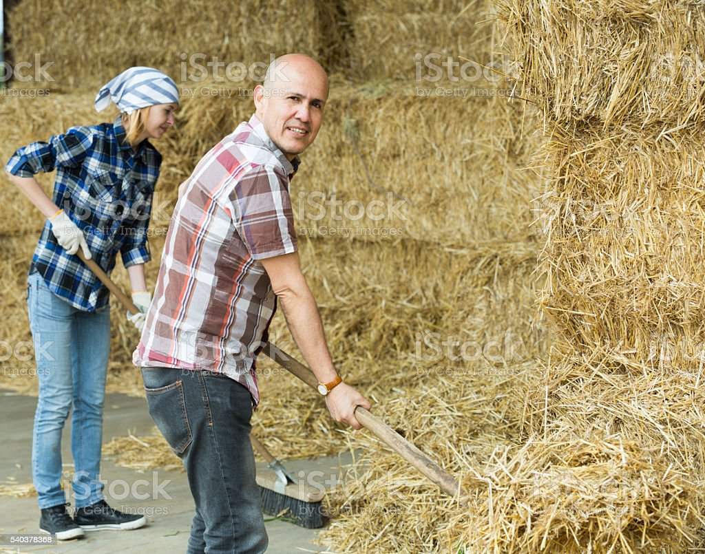 Farmers working with hay in barn stock photo
