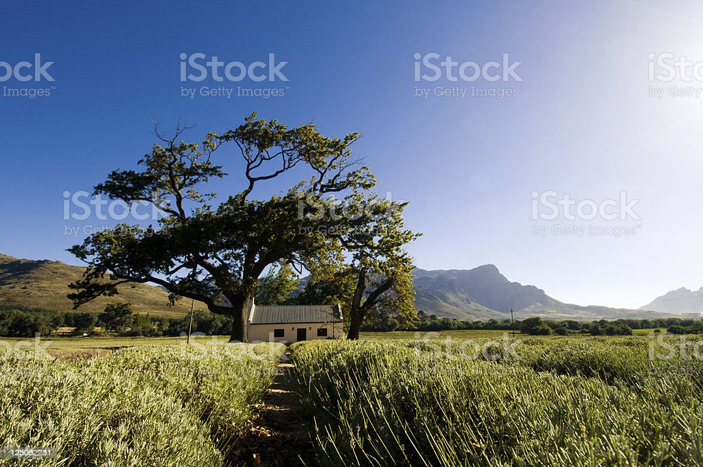 Farmhouse between lavender fields royalty-free stock photo
