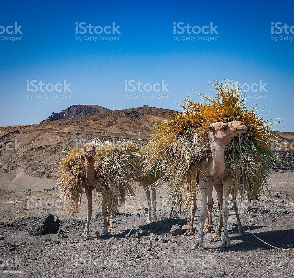 Farming Camels near Djibouti stock photo