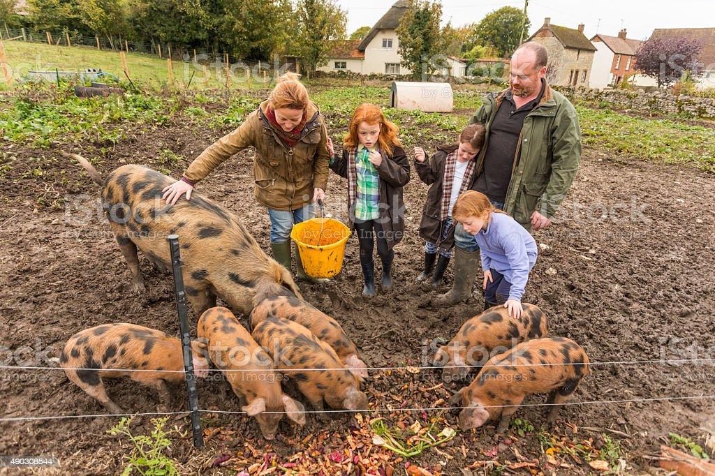 Farming Family Feeding Pigs on an Organic Farm stock photo