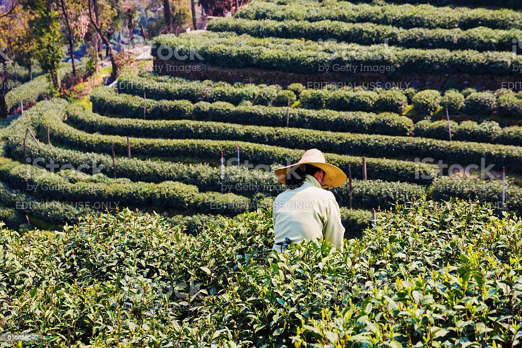 Farming in Longjing stock photo