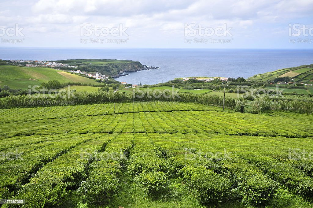 Farming tea stock photo