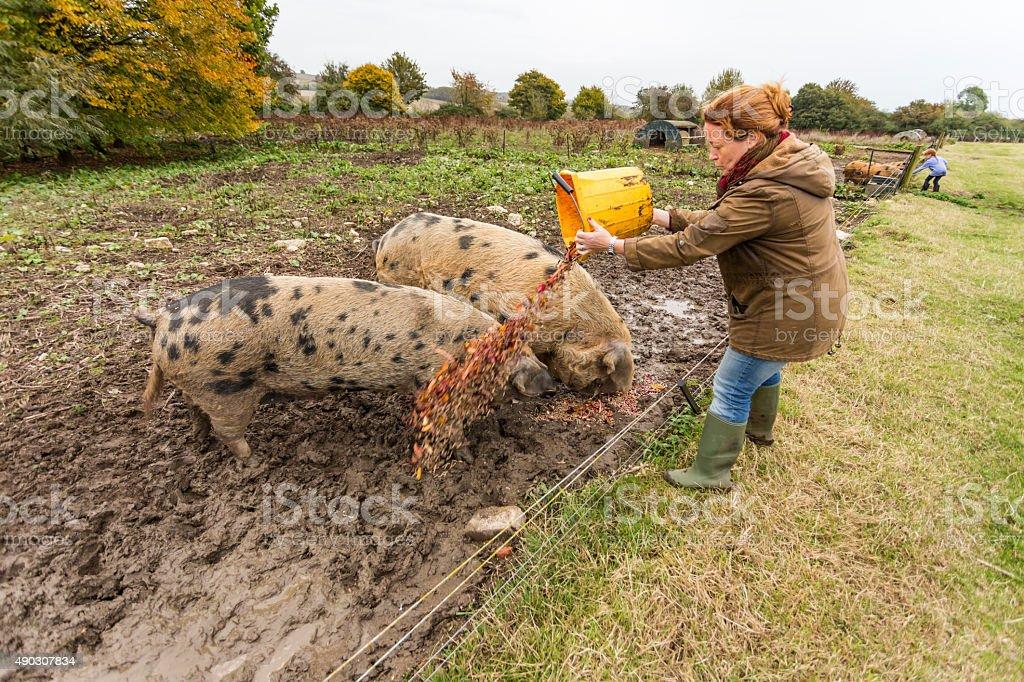Farming Woman Feeding Pigs on an Organic Farm stock photo