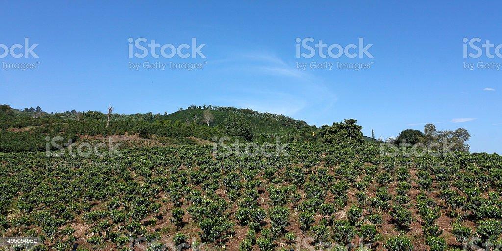 Farmland coffee in Colombia. stock photo