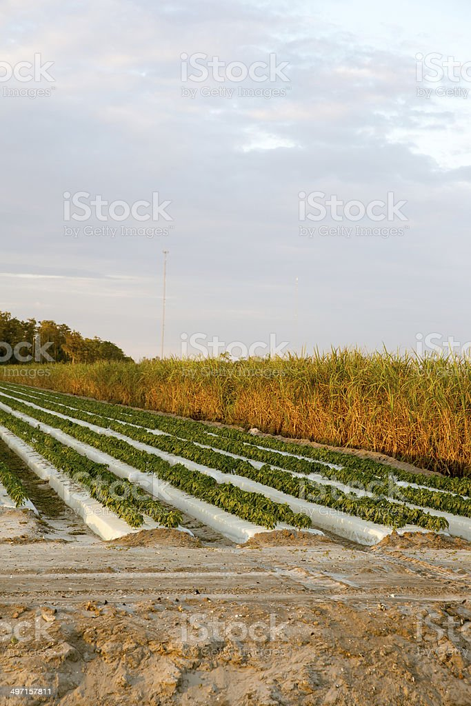 Farmland with rows of fruits and vegetables being grown royalty-free stock photo