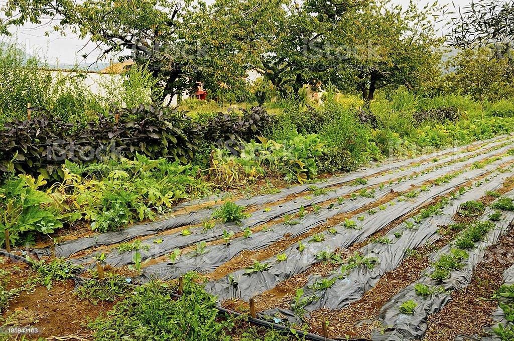 farmland with salad royalty-free stock photo