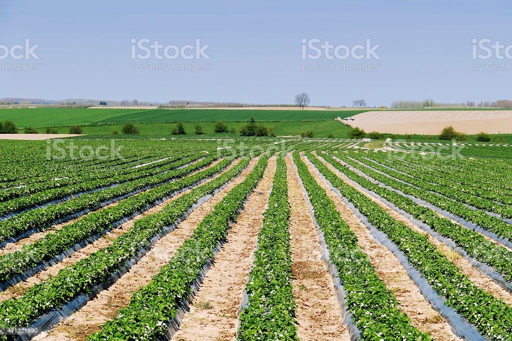 Farmland with strawberry plants in a row,Limburg,Belgium stock photo