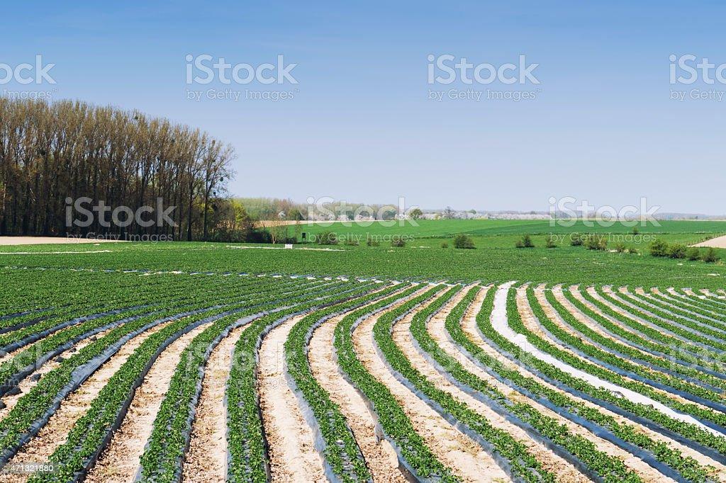 Farmland with strawberry plants in Limburg,Belgium stock photo