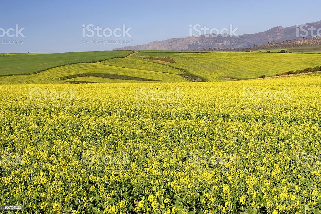 Farmland with yellow flowers in the field royalty-free stock photo