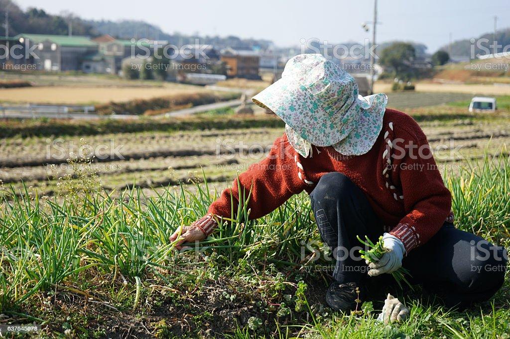 Farmwoking senior person in field stock photo