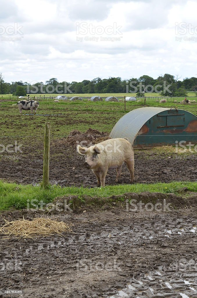 Farmyard pig and pigsty. stock photo