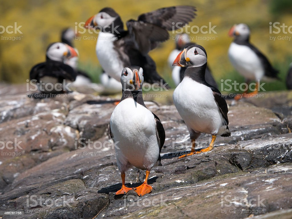 Farne Island Puffins stock photo
