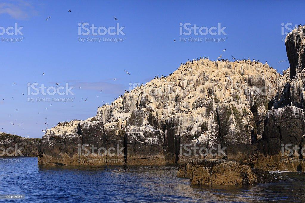 Farne Islands Bird Colony stock photo