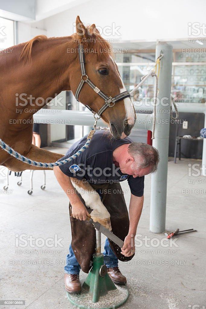 Farrier rasping the hoof stock photo