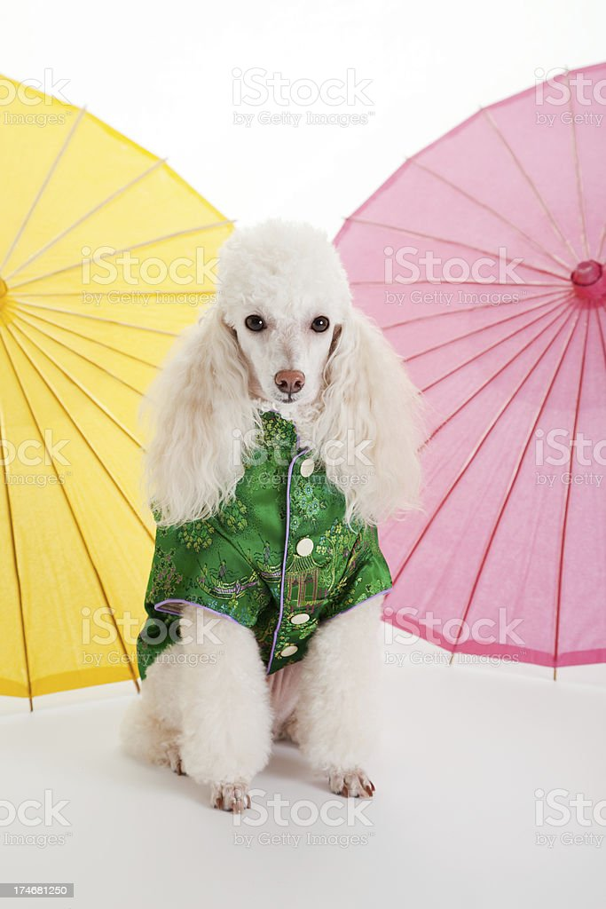 Fashionable Poodle in Silk Oriental Clothing royalty-free stock photo