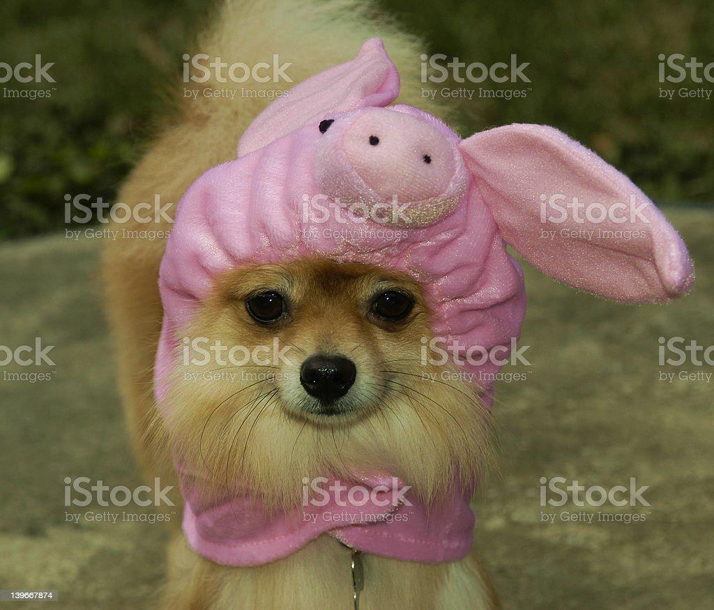 Fasi, the Piggy Pomeranian stock photo