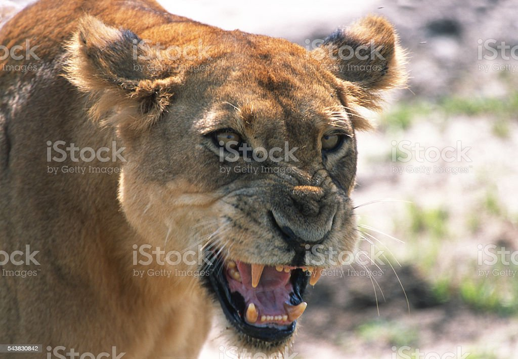 Fast moving snarling lion Queen Elizabeth National Park Uganda stock photo