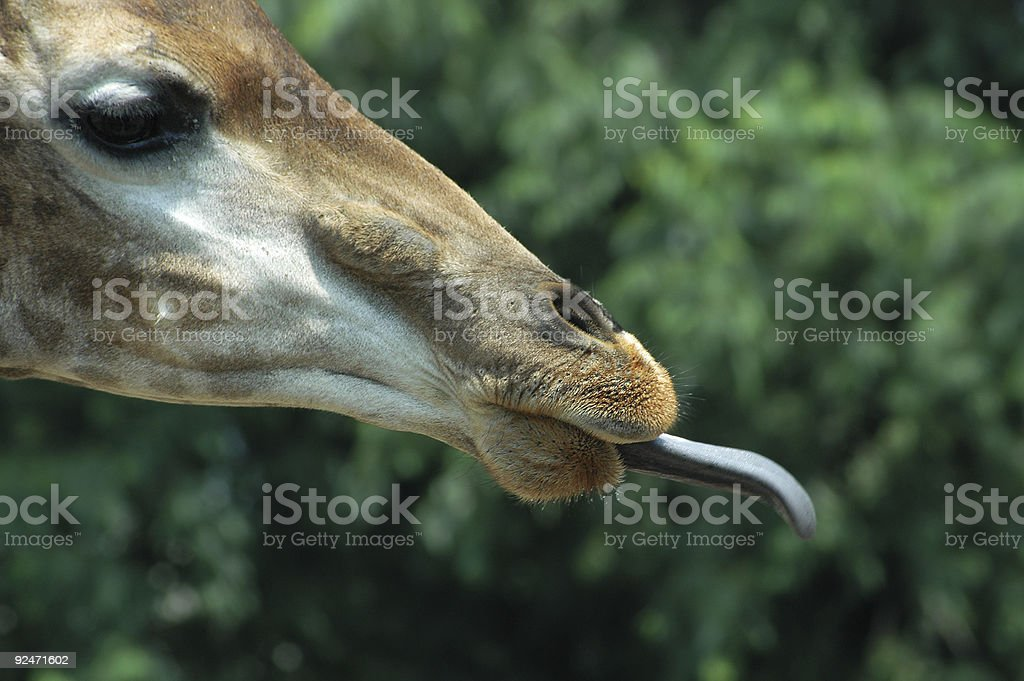 fast tongue giraffe royalty-free stock photo