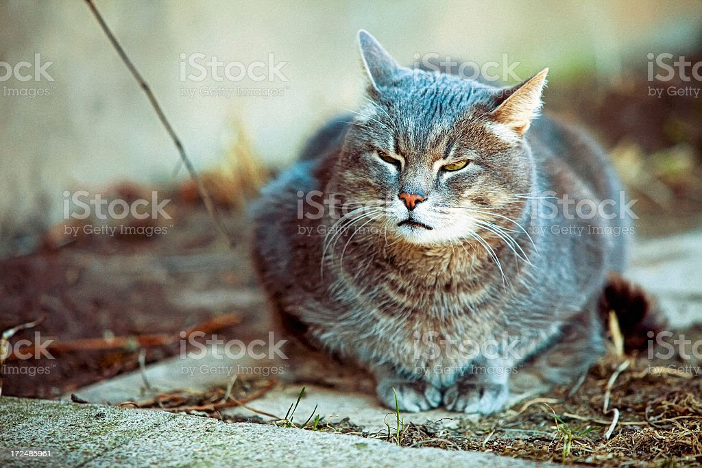 Fat angry cat royalty-free stock photo