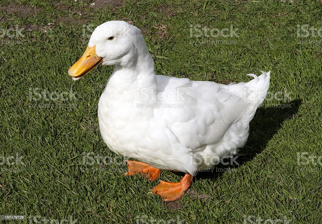 Fat Aylesbury-Pekin cross duck waddling royalty-free stock photo