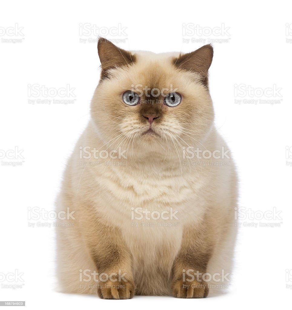 Fat British Shorthair sitting and looking at the camera royalty-free stock photo