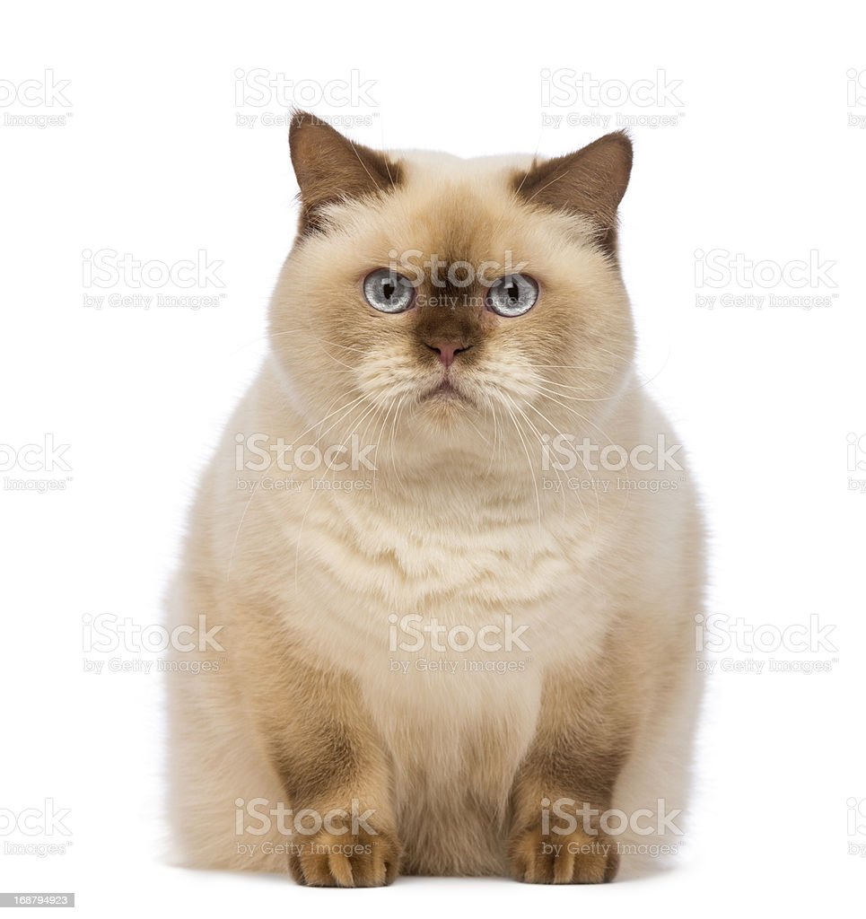 Fat British Shorthair sitting and looking at the camera stock photo
