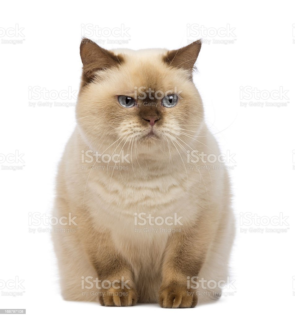 Fat British Shorthair sitting and looking with suspicion stock photo