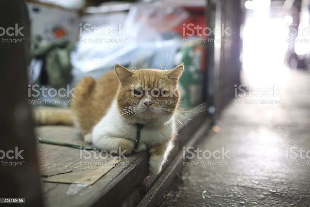 fat cat curiously stock photo